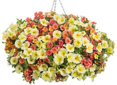 Superbells® Tropical Sunrise - Calibrachoa hybrid