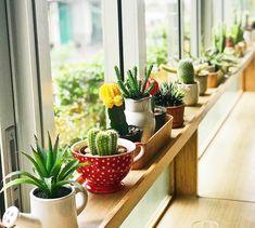 Benefits of Growing Marigolds Growing Succulents, Succulents Garden, Indoor Succulents, Suculentas Interior, Kinds Of Cactus, Interior Window Shutters, Crassula Ovata, Jade Plants, Cactus Plants