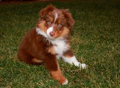 puppy! mini australian shepherd (aussie)