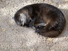 otter with ball image   Photo of a river otter curled into a ball