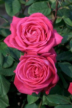 ~Rosa 'Lolita Lempicka' (France, 2002)