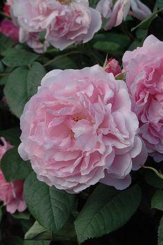 Floribunda Shrub Rose: Rosa 'Astrid Lindgren' (Denmark, 1991)