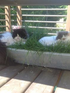 Cat Grass!  Use a Rubbermaid under bed storage and drill 4 small holes for drainage.  Layer gravel, soil and sod.  Great for indoor cats.  Use on a balcony or deck.  Never been used as a litter box! Your cats will LOVE this!