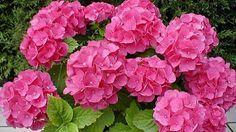 Aprenda como plantar e ter diferentes cores de hortênsias - hortênsias - Casa e…