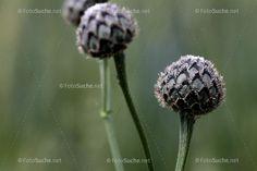 Dandelion, Flowers, Plants, Photos, Garden Plants, Botany, Dandelions, Florals, Planters