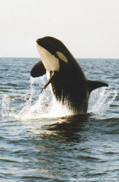"An Orca ""Killer Whale"" leaps out of the water"