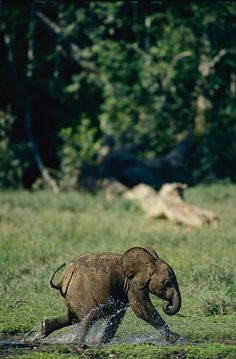 Baby elephant running Asian Elephant, Elephant Love, Elephant Art, Cute Creatures, Beautiful Creatures, Animals Beautiful, Animals And Pets, Baby Animals, Cute Animals