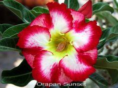 Orapan Sunset Double Flower Adenium Obesum Desert Rose