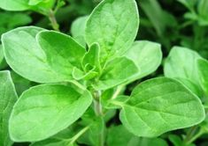 Origanum majorana, Select, extracted from dried leaves in Germany. Perennials, Plant Leaves, Spices, Herbs, Vegetables, Garden, Plants, Aromatherapy, Tips
