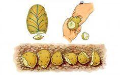 Pour une grosse récolte de pomme de terre :