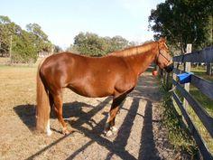 Miss Poco Yoyo gal - Chestnut  Quarter Horse Mare in Oxford, Florida 34484