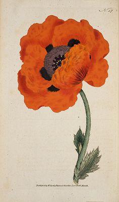 Poppy flower illustration, 1790, from William Curtis' Botanical Magazine