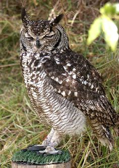 African or Spotted Eagle Owl (Bubo africanus). Photo by David C. Nowell.