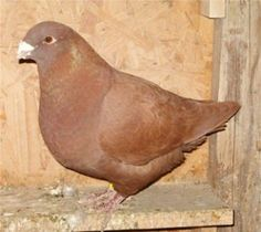 AMERICAN GIANT HOMing   pigeon -- recessive red gene  bird