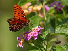 butterfly photos | Free Butterfly Pictures | Photos of Butterflies | Free Commercial ...