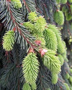 Picea abies Norway spruce zone2