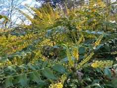 Winter Jasmine, Flowering Cherry Tree, Walk Past, Trees And Shrubs, Fall Flowers, Winter Season, Daffodils, Vegetable Garden, Climate Change
