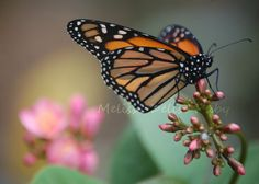 Butterfly Insect Fine Art Photography  Monarch  by RJsThisandThat, $1.00