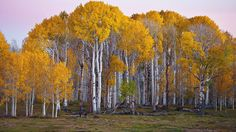 Beautiful Forest of Silver Birch Tree Common Name: Silver Birch Tree Scientific Name: Betula pendula Height: ft . Tree Wallpaper Full Hd, Yellow Tree Wallpaper, Birch Tree Wallpaper, Forest Wallpaper, Nature Wallpaper, Wallpaper Backgrounds, Scenic Wallpaper, Wallpaper Gallery, Wallpapers