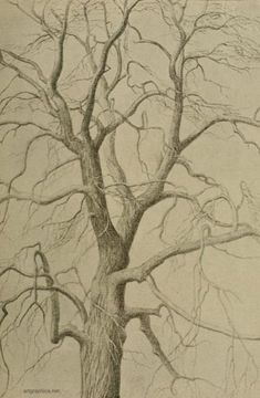 spanish chestnut tree drawing chesnut trees