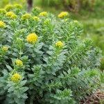 La rhodiola est une plante dont la racine est utilisée en phytothérapie. Elle fut l'objet de nombreuses études en particulier en Russie où ses vertus en ...