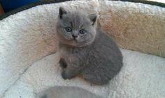 long hair Burmese cat | age 3 to 6 month cat breed british longhair fur