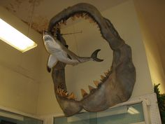 Megalodon jaws in comparison to the largest great white. They live, & were reportedly extinct 1 million years ago. These creatures have survived. One was tagged and is said to live farther down than 6600 ft beneath the ocean. They are approx. 60-100 ft long!