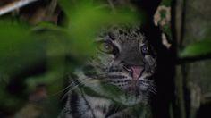Rare cat filmed up close in Borneo.  A Sunda clouded leopard is filmed up close (copyright Jyrki Hokkanen)