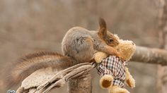 Red wild squirrel is stealing and taking a bear doll of the size of the squirrel into the trees. The movie is captured in the middle of Sweden in the village