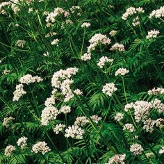 Best Fragrant Perennial Plants for Southeastern United States
