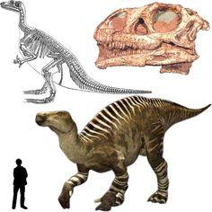 Iguanodon : Classification Règne Animalia Embranchement Chordata Sous-embr. Vertebrata Classe Sauropsida Sous-classe Diapsida Infra-classe Archosauromorpha Super-ordre Dinosauria Ordre † Ornithischia Sous-ordre † Ornithopoda Infra-ordre † Iguanodontia Famille † Iguanodontidae