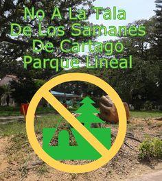 Túnel De Árboles De Cartago, No A La Tala De Árboles Samanes