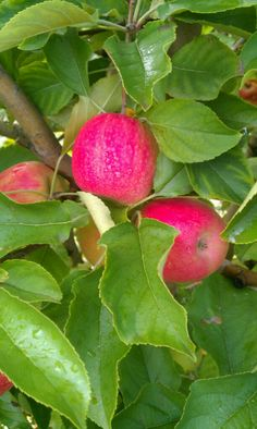 Pink Lady apples in Perth, Western Australia.