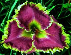 Daylilies Buy George - Links... another florida grower. Seems in general to have more extreme forms costing more, up to $75 a fan. More common types under $10. Both growers sites are worth perusing.
