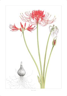Lycoris radiata, or red spider lily, were said in Japan to line the path to hell for hungry ghosts...