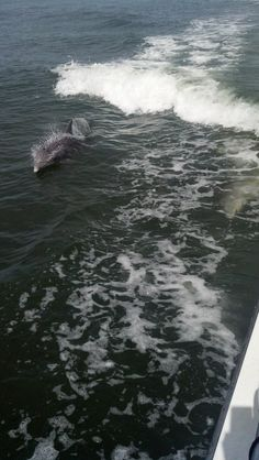 """You cant drive to North Captiva. No cars on the island = a peaceful, laid back, on """"island time"""" experience. Here are a couple of playful dolphins escorting the 20 minute boat ride to North Captiva Island."""