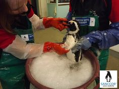 Washing an oiled African Penguin African Penguin, Rain Wear, Penguins, Birds, Animals, Animales, Rains Clothing, Animaux, Penguin