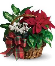 Are poinsettias poisonous? Can I plant my poinsettia outside? How do I care for it? Find out the answers to your questions on our Poinsettia facts and decorating page. Basket Flower Arrangements, Christmas Flower Arrangements, Christmas Centerpieces, Floral Arrangements, Christmas Decorations, Holiday Decor, Office Decorations, Christmas Plants, Christmas Flowers