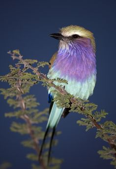 Patrick Meier   Lilac-breasted Roller