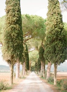 I like the way the branches were removed to expose the trunks, gives a fastigiate effect. Provence, France