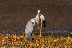 Grey heron -