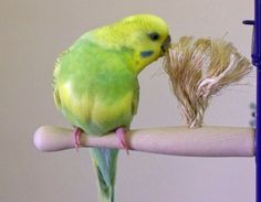 Parakeet/Budgie, Finch, Canary, Parrotlet Size Therapeutic Preening Perch - Go Shop Pet Supplies Parrot Pet, Parrot Toys, Small Birds, Pet Birds, Parakeet Toys, Parakeet Care, Budgie Toys, Cockatiel Cage, Crazy Bird