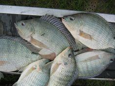 Cá rô phi trong ao lắng giúp giảm dịch bệnh tôm | Vietnam Aquaculture Network - Mạng Thủy sản Việt Nam