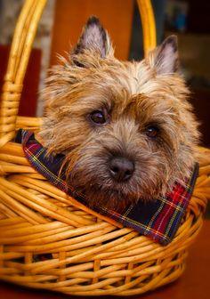Sweet Cairn Terrier