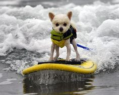 Dog surfing competition-Even though he didn't compete, Pomeranian Bobby Gorgeous gives surfing a try. Dog-size life vests and surfboards were available to rent.