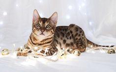 Festive Bengal Kitten by FurLined, via Flickr
