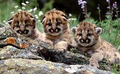 Mountain Lion Cubs Wallpaper Baby Animals Animals Wallpapers in . Baby Animals Pictures, Animals Images, Cute Baby Animals, Wild Animals, Lion Pictures, Animal Babies, Cheetah Pictures, Cubs Pictures, Nature Pictures