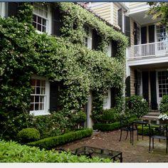 Confederate jasmine in Charleston, SC.