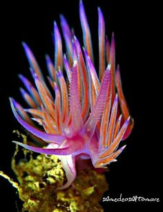 Flabellina sp. Photo by Amedeo Altomare