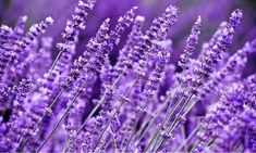 10 Fragrant Plants That Repel Mosquitoes - Garden Lovers Club Long Blooming Perennials, Flowers Perennials, Lavender Fields, Lavender Flowers, Lavender Oil, Lavender Plants, Lavender Color, Color Combos, Color Schemes